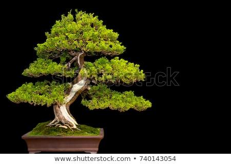 bonsai · cultura · albero · pot · bianco · foresta - foto d'archivio © digitalstorm