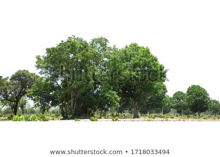 Landscaper planting trees Stock photo © Trigem4