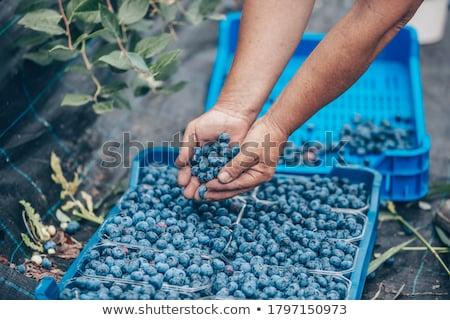 Stock fotó: Szőlőszüret · áfonya · áfonya · bokor · étel · kéz