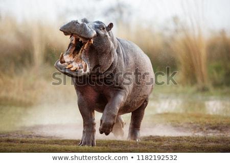 カバ 川 公園 南アフリカ 自然 ストックフォト © Vividrange