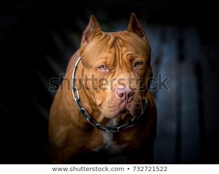 pitbull · perro · propietario · goma - foto stock © arenacreative
