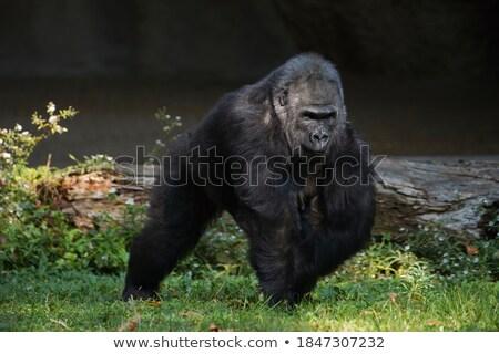 Gorilla portré közelkép ül fű állatkert Stock fotó © bradleyvdw