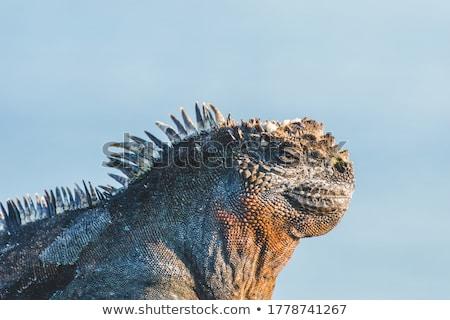 Foto stock: Marinha · iguana · retrato · praia · natureza