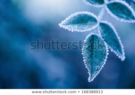 Mroźny roślin pozostawia tekstury zimą Zdjęcia stock © MKucova