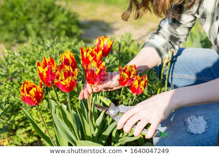 colorful cut tulips stock photo © songbird