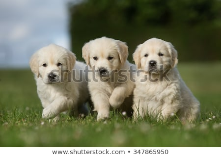 Stock fotó: Három · golden · retriever · kiskutyák · aranyos · kosár · kutyák