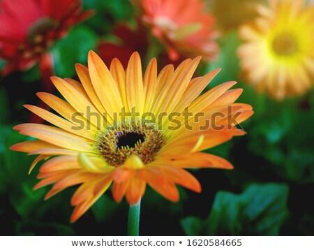 赤 花 ソフト フォーカス 美しい ストックフォト © silkenphotography