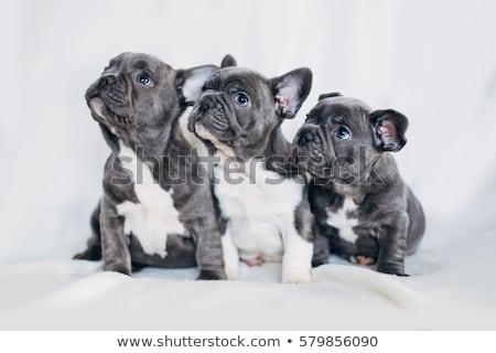 portrait of baby French bulldog  Stock photo © OleksandrO