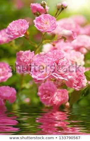 Roze wild steeg groene bladeren zachte Stockfoto © olandsfokus