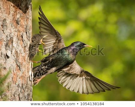 Madár állatok fekete szín Anglia énekel Stock fotó © chris2766
