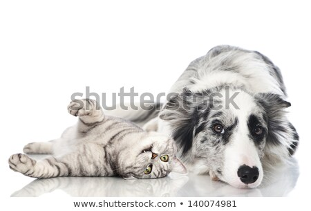 border collie relaxing in white studio Stock photo © vauvau