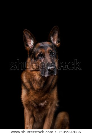Stock photo: German shepherd silhouette in a dark studio