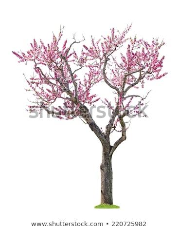 Albaricoque árbol florecer primavera Foto stock © joyr