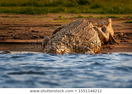 krokodil · göz · doğa · ağız · portre · diş - stok fotoğraf © AvHeertum