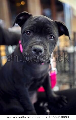 toro · terrier · ritratto · cane · faccia · design - foto d'archivio © zsooofija
