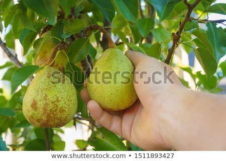 Farmer examining pear fruit grown in organic garden Stock photo © stevanovicigor