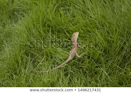 Kertenkele çayır haşarat yaz doğa ikon Stok fotoğraf © Olena