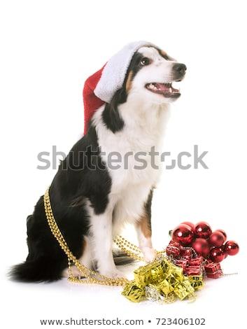 Miniatur Schäfer Weihnachten weiß Hund Stock foto © cynoclub