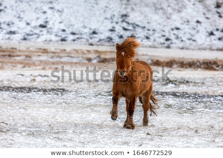 Red Icelandic horse in the pasture Stock photo © Kotenko
