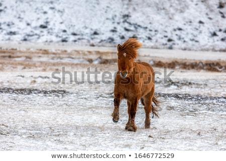 Red Icelandic horse in the pasture Stock photo © Kotenko
