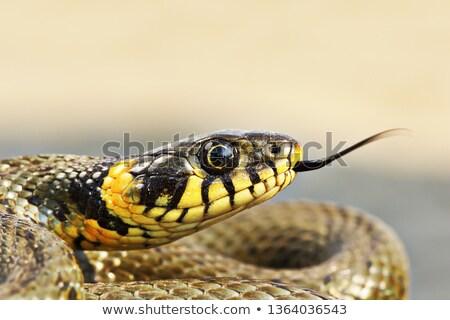 macro portrait of colorful grass snake stock photo © taviphoto