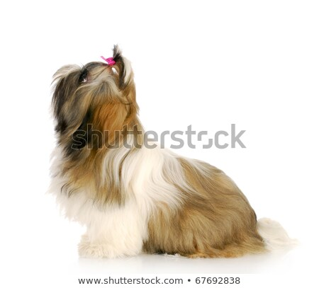 furry shih tzu sits and looks up to side Stock photo © feedough