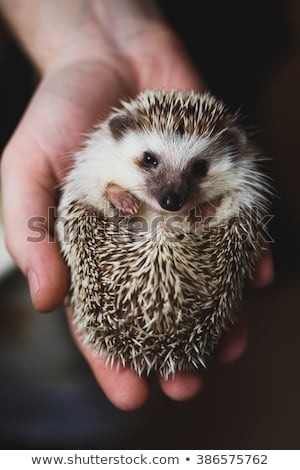 a nice african hedgehog on white background stock photo © lopolo