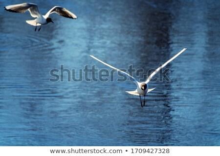 Siyah uçuş gölet kuş kış tüyler Stok fotoğraf © taviphoto