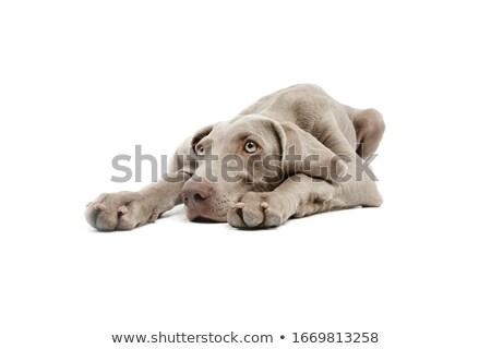Széles látószögű lövés imádnivaló kutya izolált fehér Stock fotó © vauvau