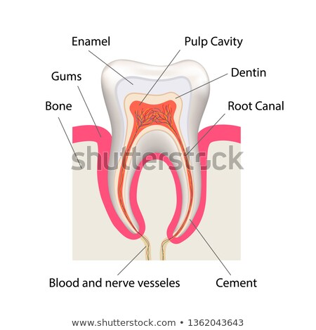 Detailed human tooth anatomy infographic chart isolated on white Stock photo © evgeny89