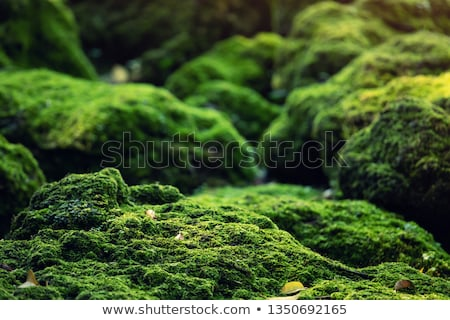 Stock photo: close up of reindeer lichen moss