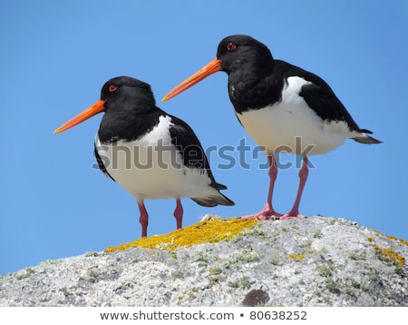 Two Eurasian Oystercatchers (Haematopus ostralegus), Isles of Scilly UK.  Stock photo © latent
