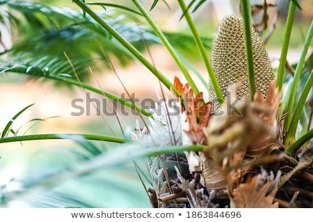 Cycads Centre Stock photo © albund