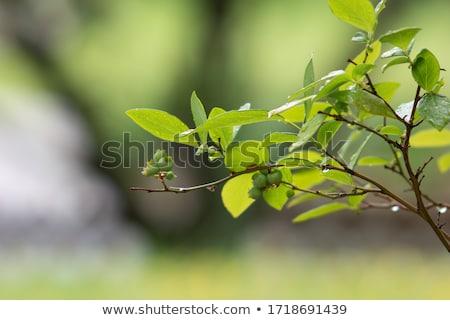 voar · inseto · fruto · figo · diariamente · luz - foto stock © sweetcrisis