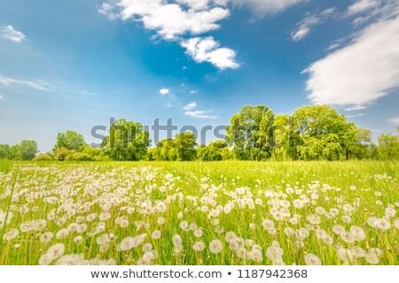 white dandelion on a green meadow  Stock photo © yoshiyayo
