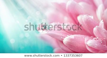 çiçek · su · damlası · gül · doğa · renk - stok fotoğraf © borysshevchuk