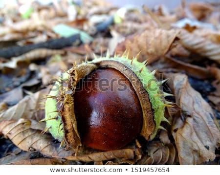 group of chestnuts stock photo © Antonio-S
