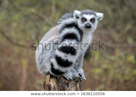 Lemurs in captivity Stock photo © spinnell