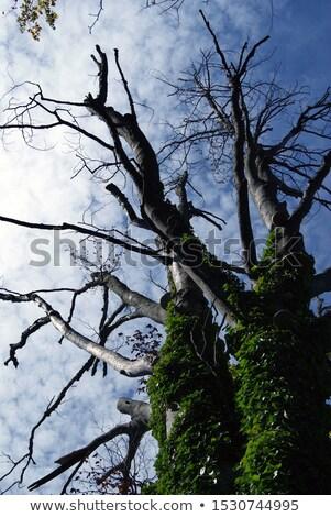 Eski karanlık ağaç Hırvatistan görmek bahar Stok fotoğraf © tomasz_parys