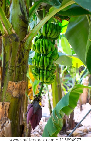Canarian Banana Platano in La Palma Stock photo © lunamarina