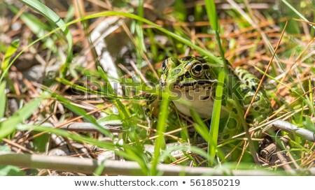 лягушка · трава · лес · тело · саду · фон - Сток-фото © ca2hill