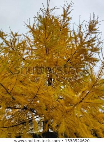Yellow Larch tree autumn landscape  Stock photo © aetb