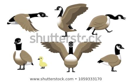 Canada Goose Swimming on a Lake Stock photo © rhamm