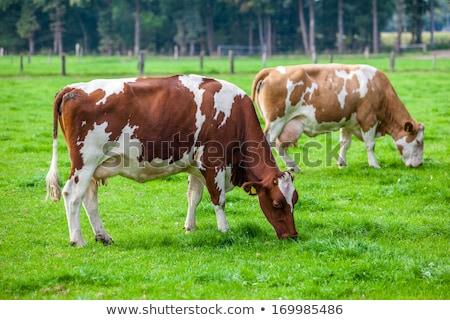 Cows on the meadow fresian cattle Stock photo © lunamarina
