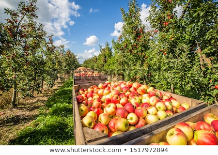 Apple Harvest Stock photo © Freezingpictures