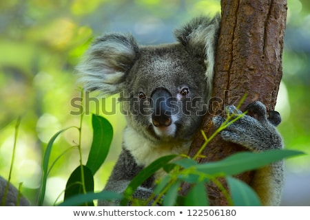 close up of koala bear in tree stock photo © backyardproductions
