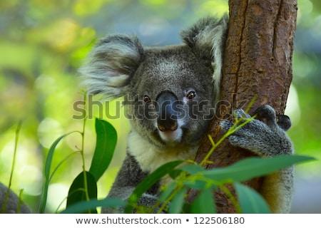 Stock photo: Close Up Of Koala Bear In Tree