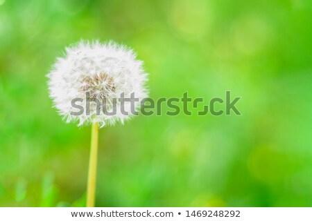 Lonely dandelion Stock photo © FOTOYOU