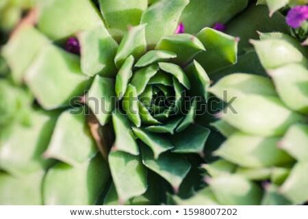 macro · coup · pourpre · cactus - photo stock © shanemaritch