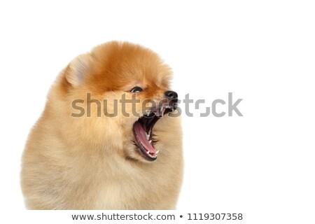 perro · aislado · blanco · Inglés - foto stock © leungchopan